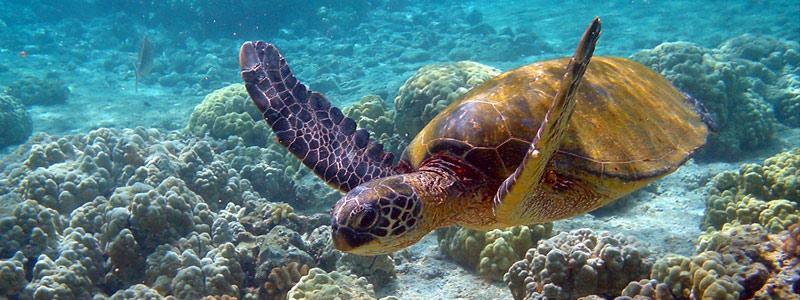 Atención a tortugas marinas por derrames de petróleo
